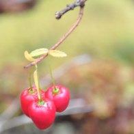 Berries_06